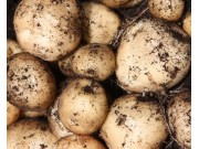 Rocket Seed Potatoes (First Early - 1 kg)