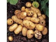 Pentland Javelin Seed Potatoes (First Early - 1kg)